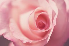Fundo delicado com pétalas cor-de-rosa Apropriado para convites e cartão do casamento Fundo para redes sociais naughty fotos de stock