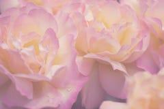 Fundo delicado com pétalas cor-de-rosa Apropriado para convites e cartão do casamento Fundo para redes sociais naughty fotos de stock royalty free