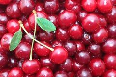Fundo delicioso maduro vermelho das cerejas Imagem de Stock Royalty Free