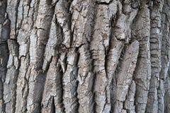 Fundo detalhado da textura da casca de árvore Casca do ?lamo fotos de stock royalty free
