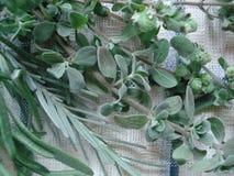 Fundo do algodão com um quadro de plantas verdes: alfazema, orégano, alecrins Ervas medicinais e aromáticas em uma textura do tec Imagens de Stock