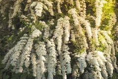 Fundo do arbusto de florescência pequeno das flores brancas Mola foto de stock royalty free