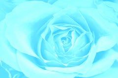 Fundo do azul de Rosa Imagem de Stock