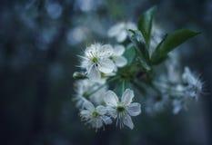 fundo do bokeh da árvore de cereja do close-up das flores brancas da flor da árvore do ramo foto de stock royalty free