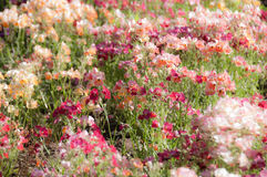 Fundo do borrão da flor cor-de-rosa Imagens de Stock Royalty Free