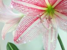 Fundo do branco da flor Imagens de Stock