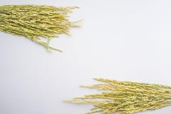 Fundo do branco da planta de arroz da grama de Rye Fotos de Stock Royalty Free