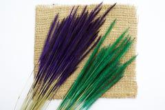 Fundo do branco da planta de arroz da grama de Rye Foto de Stock Royalty Free