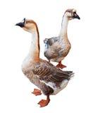 Fundo do branco de Gooses de dois patos bravos europeus Fotografia de Stock Royalty Free