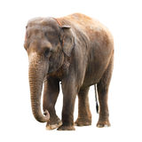 Fundo do branco do elefante fotografia de stock