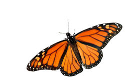 Fundo do branco do entalhe da borboleta de monarca Imagens de Stock