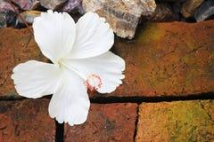 Fundo do branco do hibiscus Foto de Stock Royalty Free