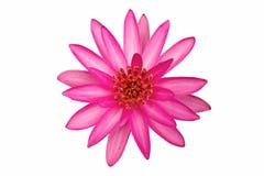Fundo do branco do isolado da flor de Lotus. Imagens de Stock