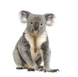 Fundo do branco dos againts do urso de Koala Imagem de Stock