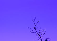 Fundo do céu preto ou azul da árvore do pássaro Foto de Stock Royalty Free