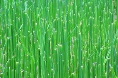 Fundo do campo da planta verde Fotografia de Stock