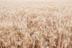 Fundo do campo do trigo maduro Imagem de Stock Royalty Free