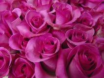 Fundo do close-up cor-de-rosa brilhante das rosas Fotografia de Stock Royalty Free