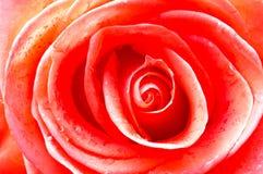 Fundo do close-up de Rosa imagens de stock royalty free