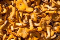 Fundo do cogumelo do close up das primas Fotografia de Stock