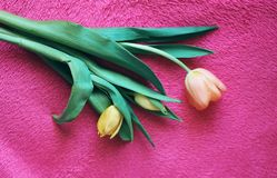 Fundo do dia das mulheres com as flores bonitas da tulipa Imagens de Stock