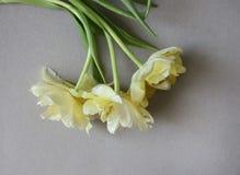 Fundo do dia das mulheres com as flores bonitas da tulipa Imagens de Stock Royalty Free