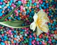 Fundo do dia das mulheres com a flor bonita da tulipa Fotos de Stock