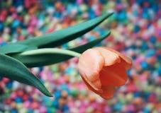 Fundo do dia das mulheres com a flor bonita da tulipa Imagens de Stock