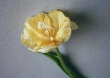 Fundo do dia das mulheres com a flor bonita da tulipa Foto de Stock