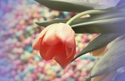Fundo do dia das mulheres com a flor bonita da tulipa Imagem de Stock Royalty Free