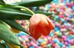Fundo do dia das mulheres com a flor bonita da tulipa Fotografia de Stock Royalty Free