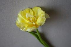 Fundo do dia das mulheres com tulipa bonita Fotografia de Stock