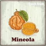 Fundo do esboço do fruto fresco Ilustração do desenho da mão de um mineola ilustração royalty free