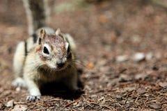 Fundo do esquilo com espaço da cópia Imagem de Stock