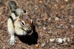 Fundo do esquilo com espaço da cópia Foto de Stock Royalty Free