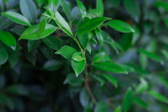 Fundo do fim verde do arbusto das folhas acima Fotos de Stock