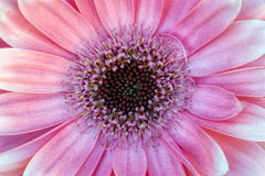Fundo do Gerbera Fotos de Stock Royalty Free