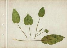 Fundo do herbário do vintage no papel velho Composição das folhas verdes pressionadas e secadas em um cartão foto de stock