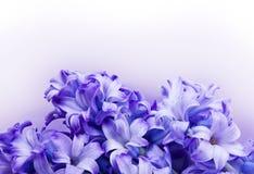 Fundo do Hyacinth com trajeto de grampeamento Imagem de Stock Royalty Free