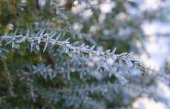 Fundo do inverno Árvore em ramos da geada de uma árvore de Natal coberta com a neve no tempo frio Ramos coníferos congelados no w Imagem de Stock