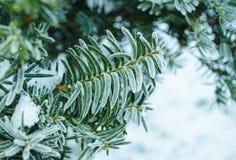 Fundo do inverno Árvore em ramos da geada de uma árvore de Natal coberta com a neve no tempo frio Ramos coníferos congelados no w Imagem de Stock Royalty Free