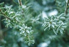 Fundo do inverno Árvore em ramos da geada de uma árvore de Natal coberta com a neve no tempo frio Ramos coníferos congelados no w Fotos de Stock