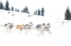 Fundo do inverno da raça de cão de trenó da fuga de Iditarod Fotos de Stock Royalty Free