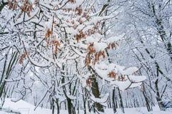 Fundo do inverno do conto de fadas com ramo do bordo Fotos de Stock