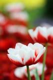 Fundo do jardim de Tulip Flower Foto de Stock