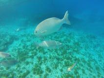 Fundo do mar com peixes e água azul Imagens de Stock Royalty Free