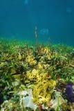 Fundo do mar das caraíbas com vida subaquática colorida Imagem de Stock