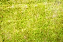 Fundo do musgo Foto de Stock