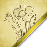 Fundo do narciso amarelo do esboço Fotografia de Stock Royalty Free