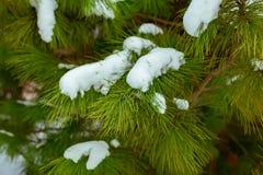 Fundo do Natal com neve na refeição matinal verde do pinheiro imagens de stock